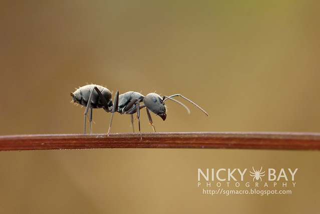 Ant (Formicidae) - DSC_7010