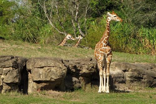 IMG_7077_Giraffes