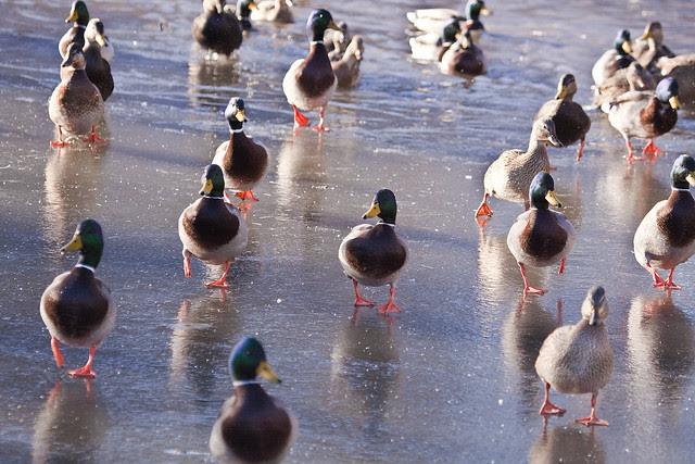 duckpatrol
