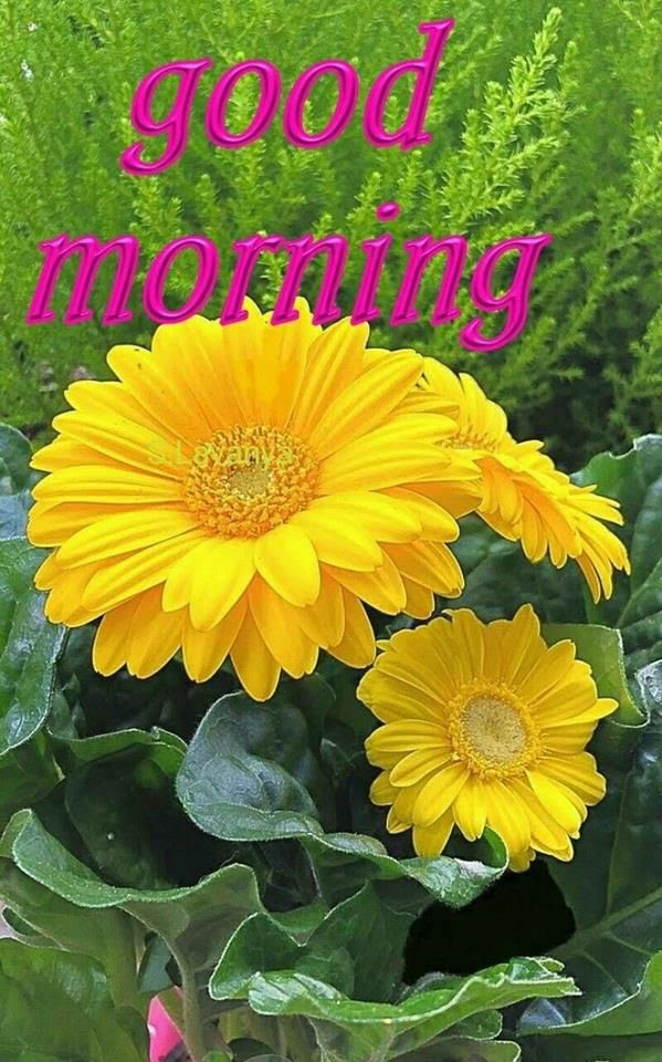 Yellow Flower Good Morning Quote Pictures Photos And Images For