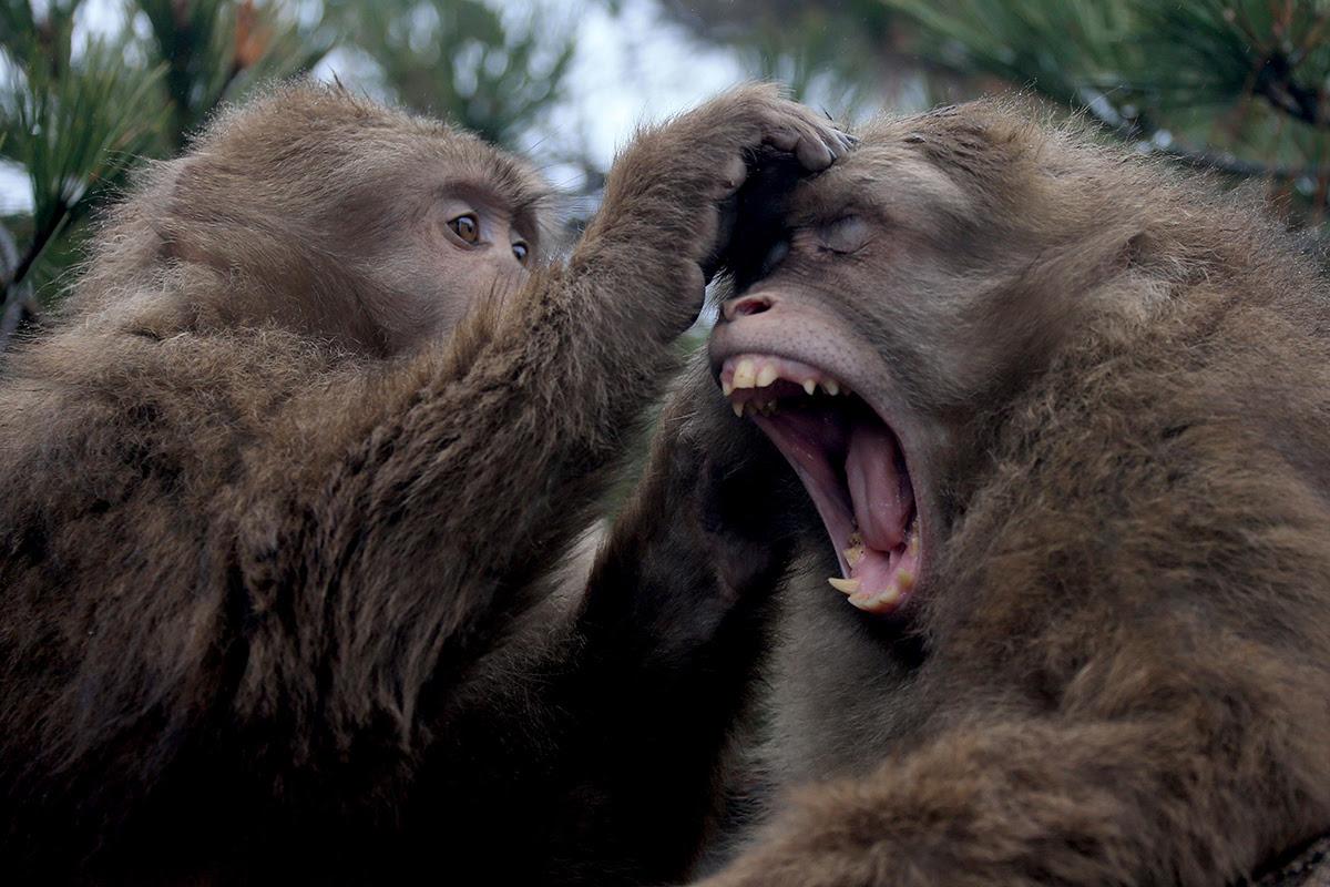Monkeys Just Don T Have The Brains To Talk Bcnn1 Black
