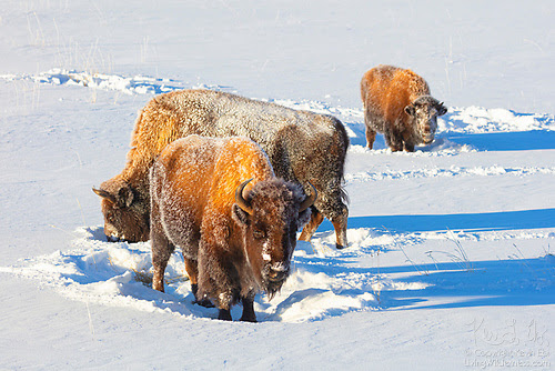 Bison Grazing in Winter, Lamar Valley, Yellowstone National Park, Wyoming
