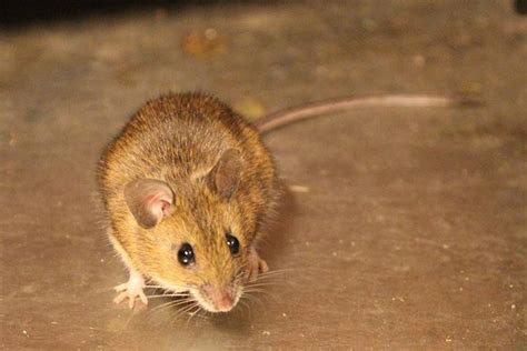 What you need to know about mice in your home (and how to get rid of them)   Globalnews.ca