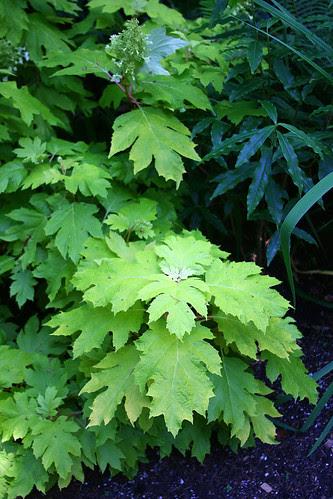 golden-leaved oak-leaf hydrangea