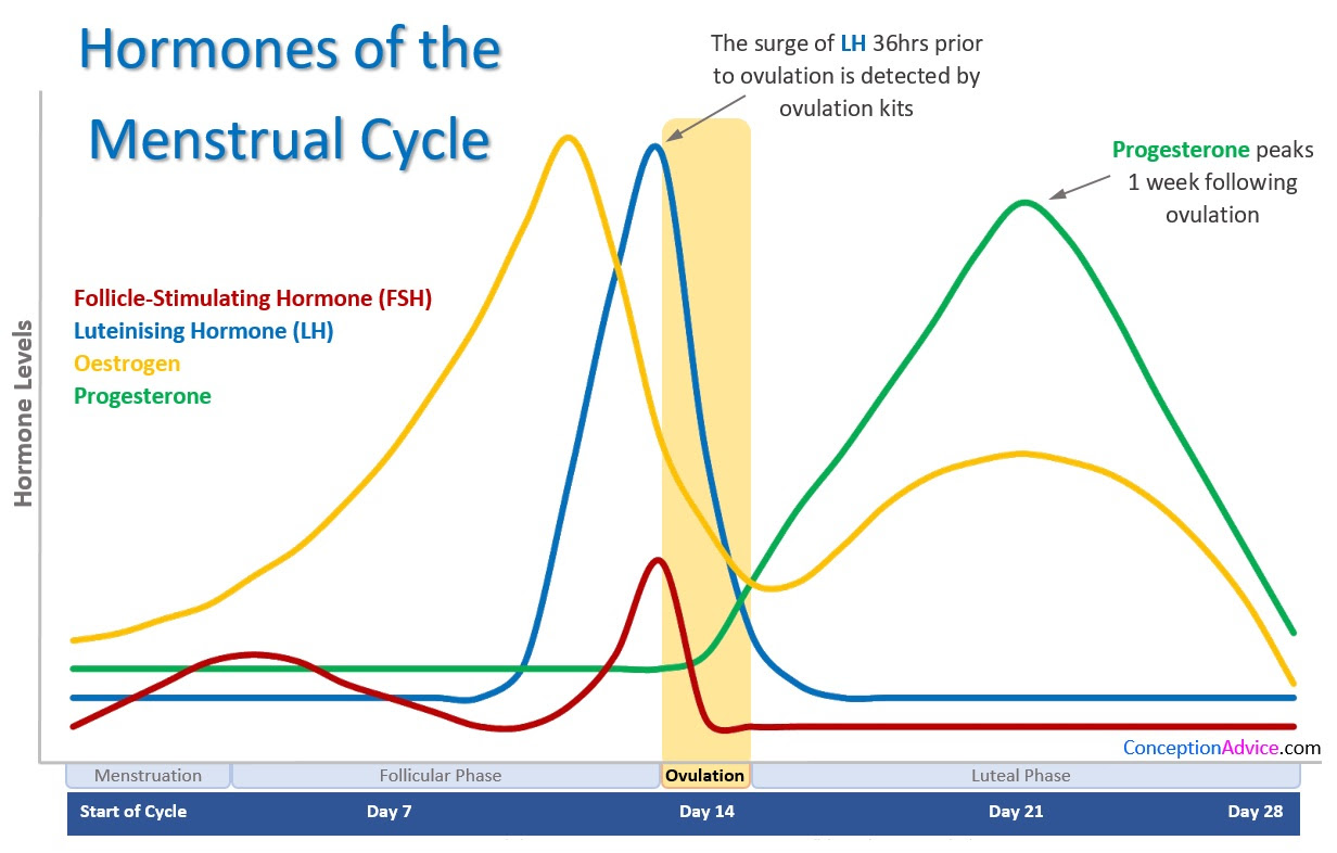 Hormones of the Menstrual Cycle
