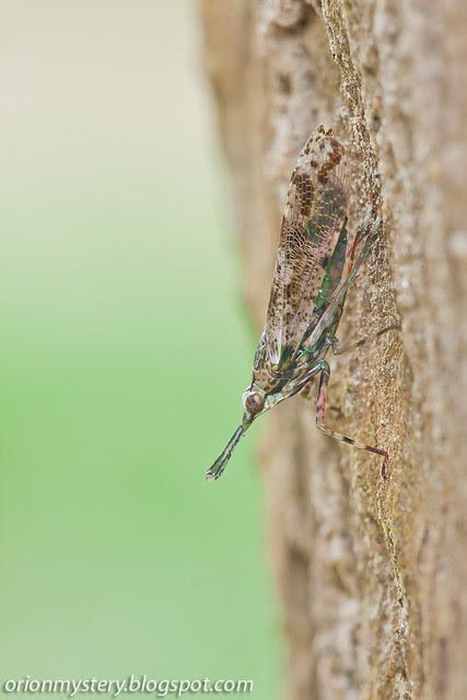 Prolepta sp. lantern bug IMG_9741 copy