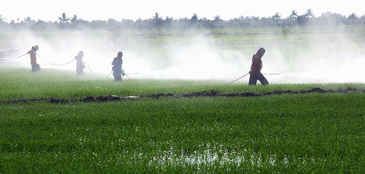 pesticides-paddy-levels-735-350