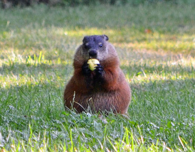 Groundhog in my back yard thinks this apple looks delicious