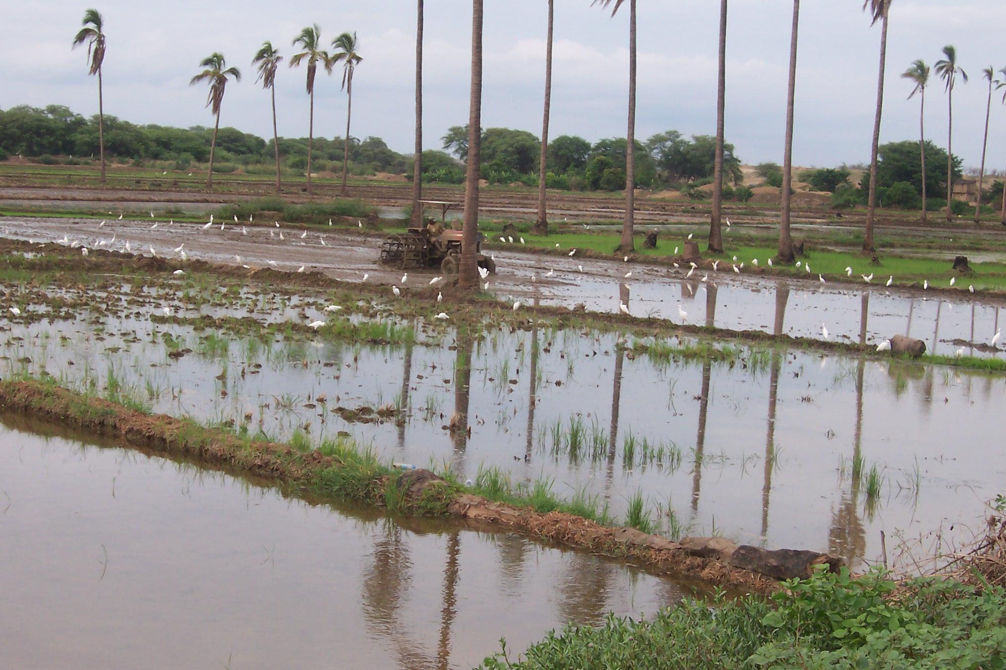 Campos de arroz en el Bajo Piura 1.jpg