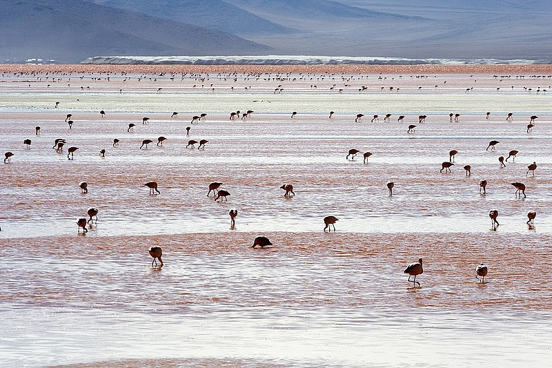 File:Andean Flamingos Laguna Colorada Bolivia Luca Galuzzi 2006.jpg