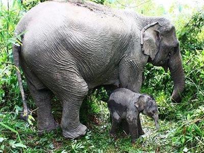 Denuncian el uso en circos españoles de elefantes asiáticos en extinción. -WIKIPEDIA