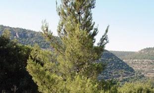 A pine tree.