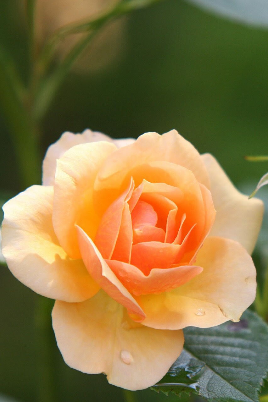 Yellow rose flower, 35 best flower photos