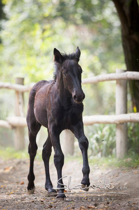 "horsesarecreatures: "" Ione Del Gottero, Murgese filly. Photo by Christiane Slawik. """
