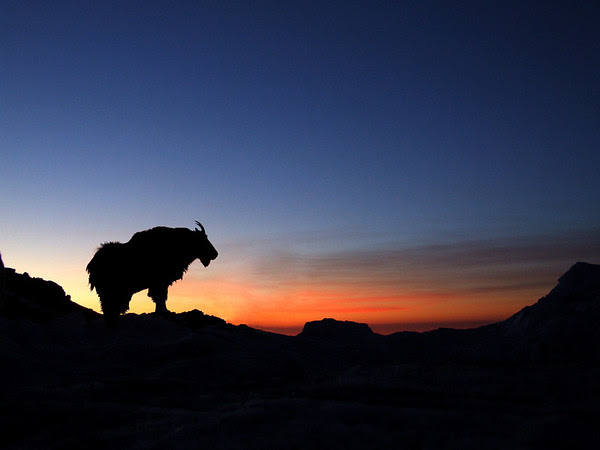 Mount Evans Sunrise, tinkered with in Photoshop(goat was facing the other way)
