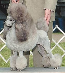 Poodle Most Popular Pooches in America