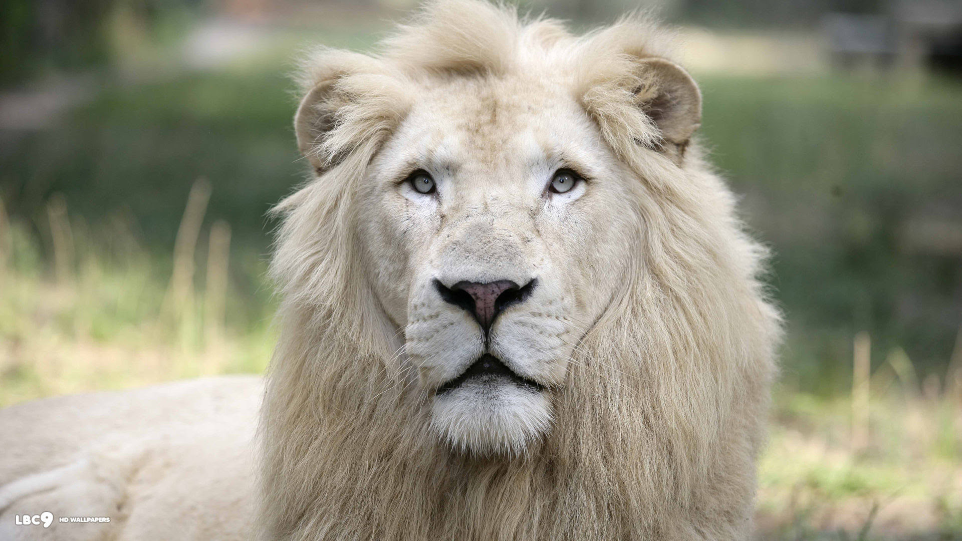 African White Lion Wallpaper 63 Images Images, Photos, Reviews