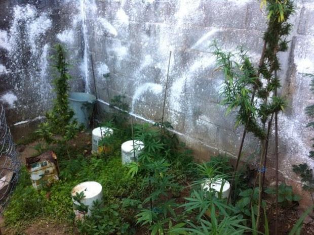No quintal havia grande quantidade de maconha (Foto: Divulgação/ Polícia Civil)