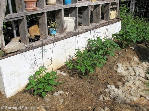 (13) Mulched Roma tomato plants growing against the greenhouse in my kitchen garden - FarmgirlFare.com