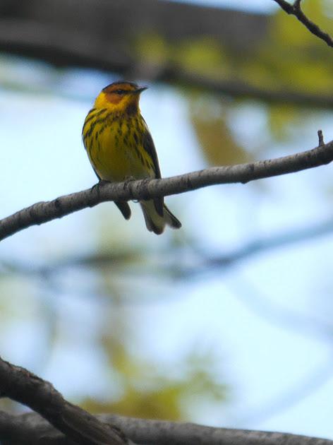 Ed Gaillard: birds &emdash; Cape May Warbler, Central Park