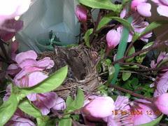 bulbul chicks4 (18May)