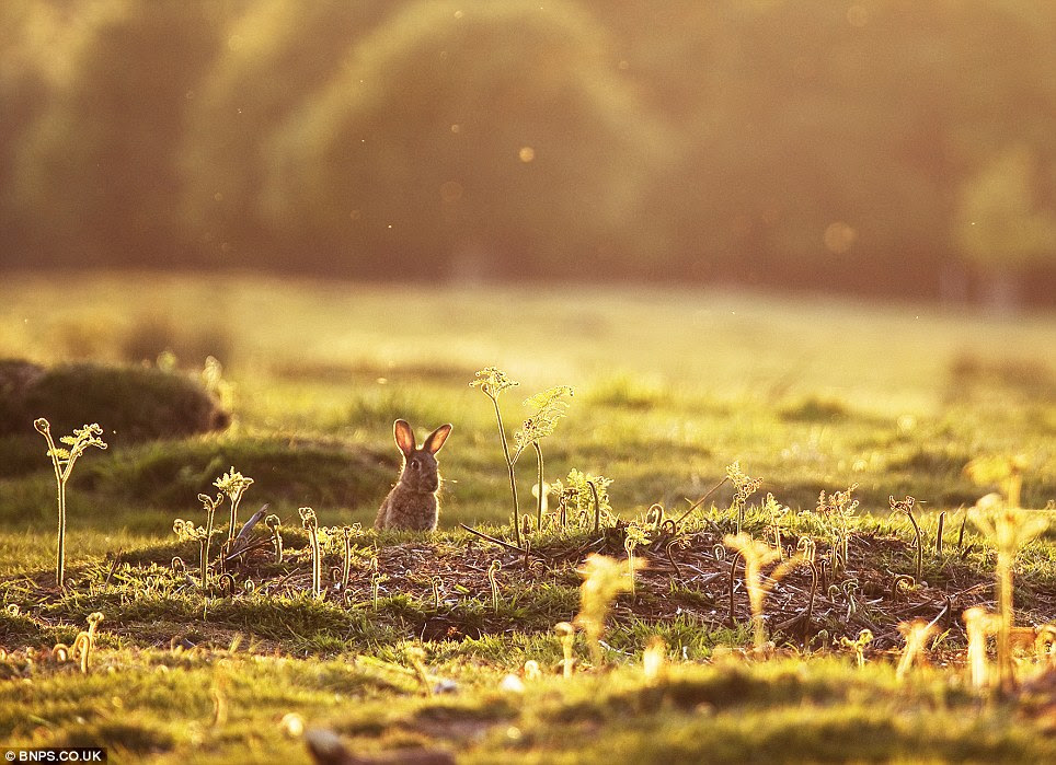 First rabbit of spring: Photographed by Alex Saberi