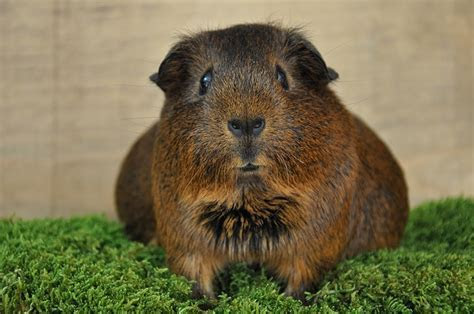 Guinea pig public domain free photos for download 4288x2848 2.57MB