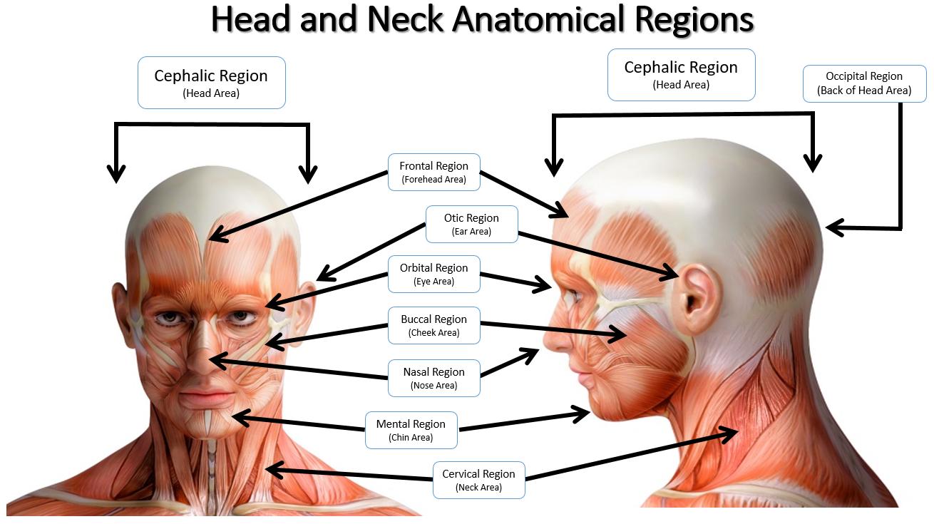 head anatomical regions_1_orig