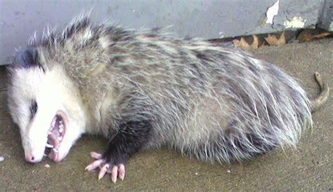 TOM CLARK: Playing Dead: Opossum