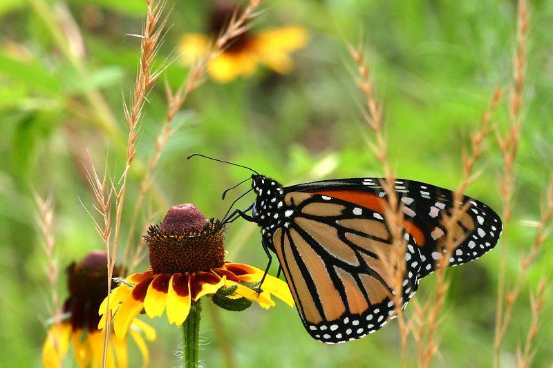 File:Monarch Butterfly.jpg