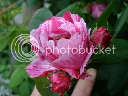 ferdinad picard