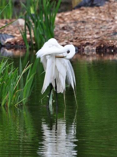 Morningside Egret