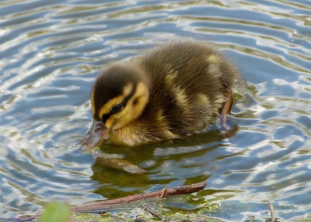 26935 - Mallard Duckling, Llanelli WWT