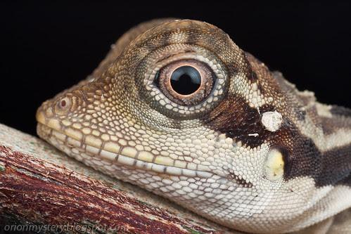 female angle head lizard, gonocephalus grandis portrait IMG_7020 copy