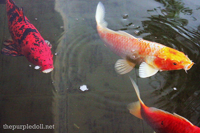 Koi Fishes at Bellevue Manila