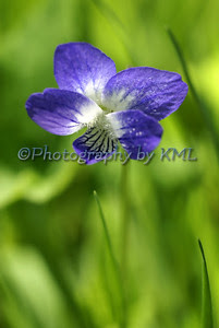 a small purple violet wildflower