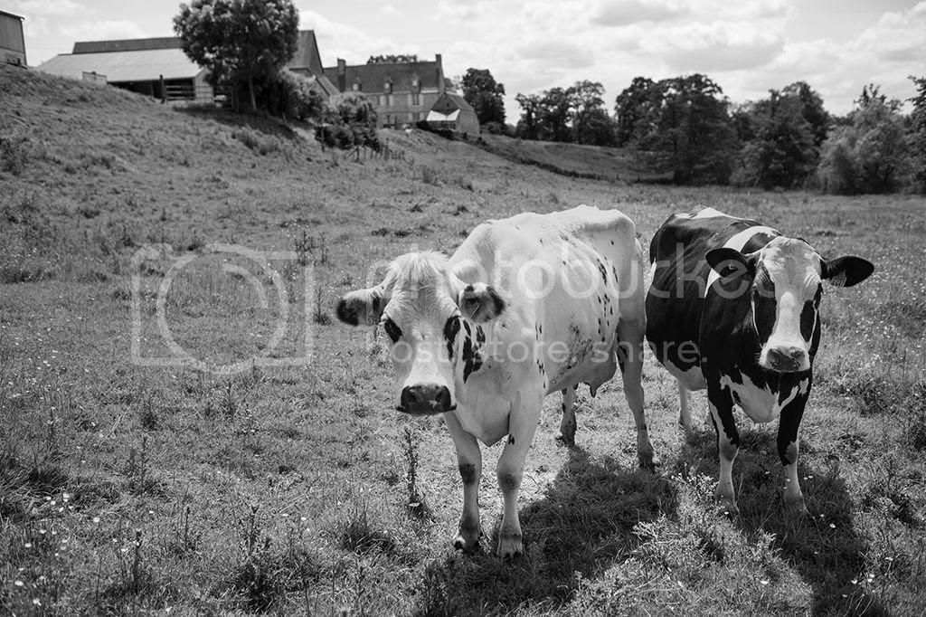 photo cows_zps26aab558.jpg
