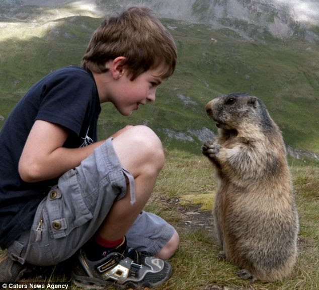 Special bond: Matteo Walch has stuck up an unlikely friendship with a group of marmots in the Austrian Alps