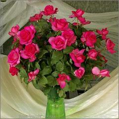 Rosa 'Parole' - Róża