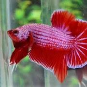 Jenis Ikan Cupang Yang Mahal Dan Murah Cocok Untuk Peliharaan