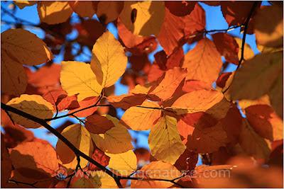 Autumn (fall) mosaic: beech (Fagus sylvatica) leaves