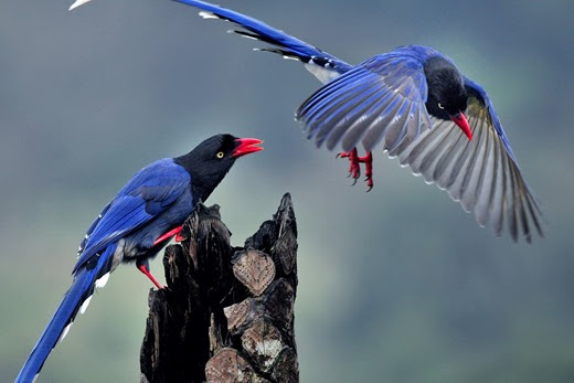 Taiwan Blue Magpie (Urocissa caerulea) 18[2] (520x347, 125Kb)