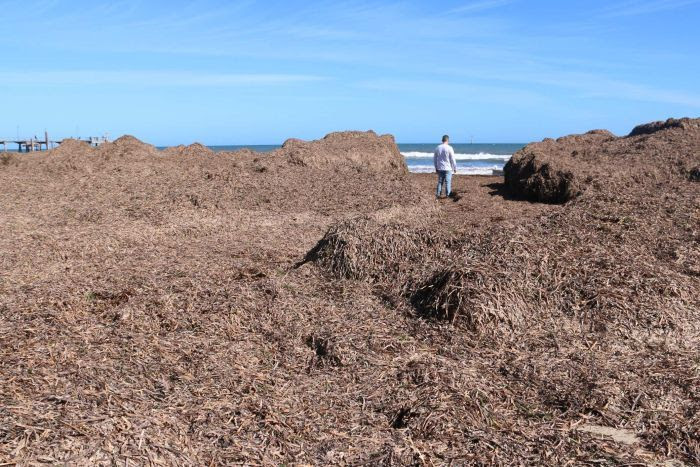 Massive piles of seaweed washed up one Glenelg Beach.