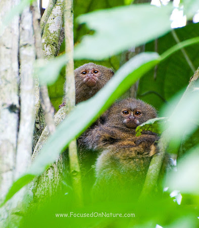 Pygmy Marmoset Pair
