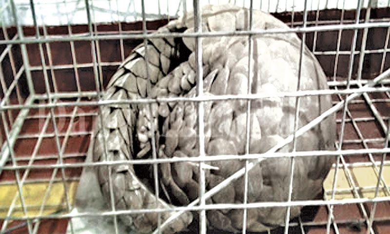 Frozen pangolin found from Chinese restaurant