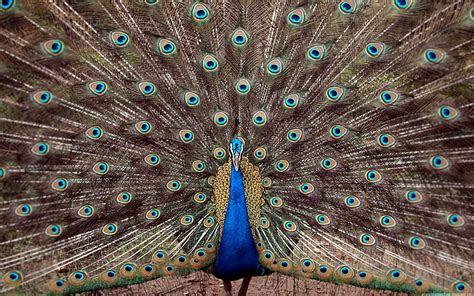 koleksi foto burung merak tercantik  gambar keren