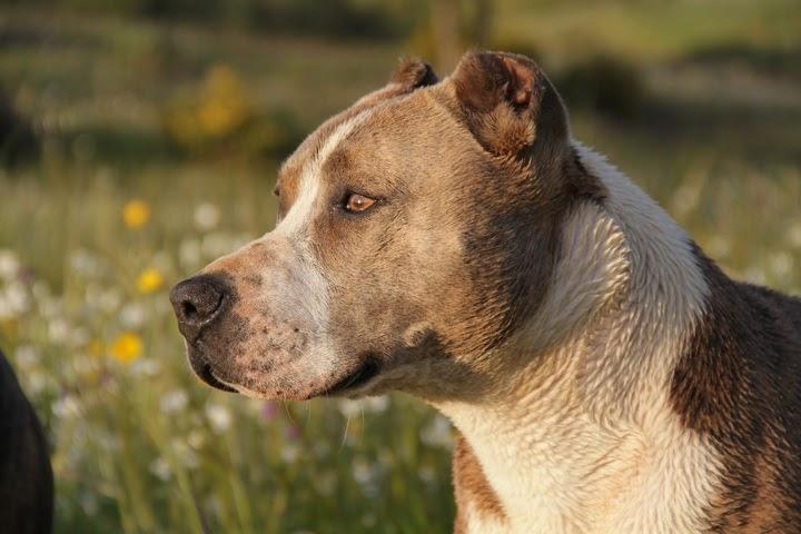 As 20 raças de cachorros mais Grande do mundo