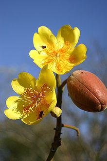 Cochlospermum-vitifolium.jpg