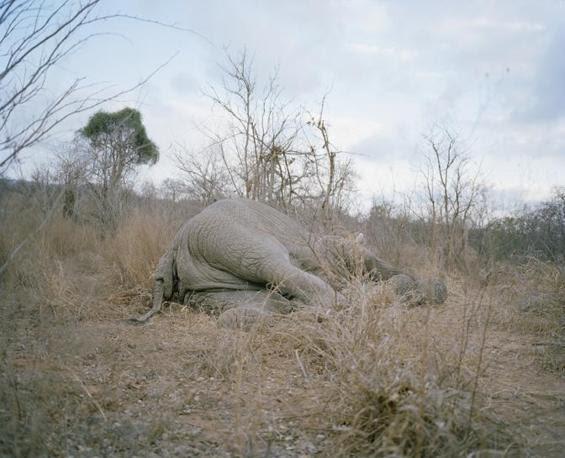 http://images.corriereobjects.it/gallery/Cronache/2010/03_Marzo/elefante/1/img_1/01_Elephant_Story-Copyright_David_Chancellor_672-458_resize.jpg