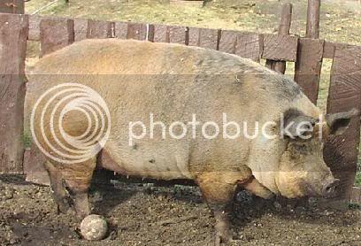 O Porco
